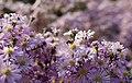 Myrtenaster Pink Star (Aster ericoides) Honigbiene (Apis mellifera) Blumengärten Hirschstetten Wien 2014 b.jpg