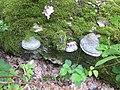 """NSG """"Sorgenteich"""" bei Guteborn, Totholz (Birke, gefallen) mit Buckel-Tramete, am südlichen Dammweg, Frühling, 01.jpg"""