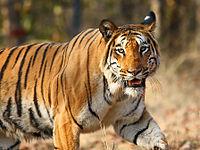 Nagzira Tiger By Vijay Phulwadhawa.jpg