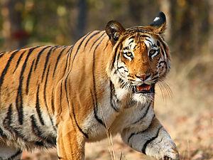 Navegaon National Park - Image: Nagzira Tiger By Vijay Phulwadhawa