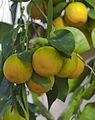 Naranja (Citrus sinensis), Conservatorio botánico, Fort Wayne, Indiana, Estados Unidos, 2012-11-12, DD 01.jpg