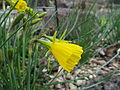 Narcissus bulbocodium1.jpg