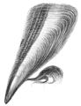 Natural History - Mollusca - Pinna.png