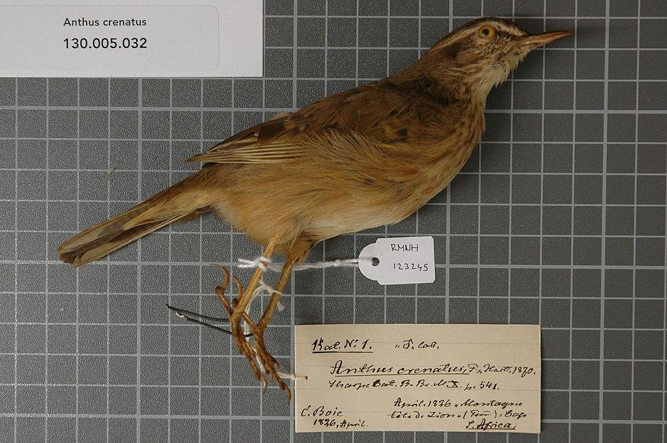 Naturalis Biodiversity Center - RMNH.AVES.123245 1 - Anthus crenatus Finsch & Hartlaub, 1870 - Motacillidae - bird skin specimen.jpeg