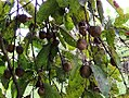 Nauclea orientalis fruit.jpg