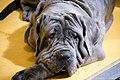 Neapolitan mastiff (7982300911).jpg