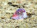 Necklace shell (Tanea undulata) (32089035400).jpg