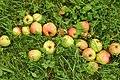 Nedfallsfrukt apples epler Grythengen Toten Norway c.jpg