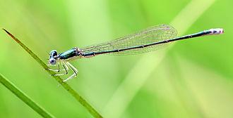 Sedge sprite - Image: Nehallenia irene female