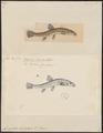 Nemachilus barbatulus - 1700-1880 - Print - Iconographia Zoologica - Special Collections University of Amsterdam - UBA01 IZ15000178.tif