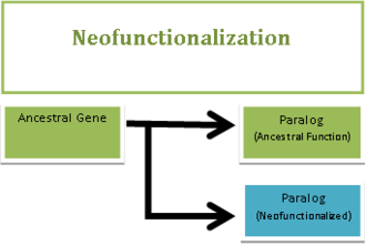 Neofunctionalization - Neofunctionalization is the process by which a gene acquires a new function after a gene duplication event. The figure shows that once a gene duplication event has occurred one gene copy retains the original ancestral function (represented by the green paralog), while the other acquires mutations that allow it to diverge and develop a new function (represented by the blue paralog).