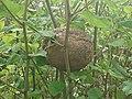 Nest in Knöterich1.jpg