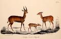 Neue Wirbelthiere zu der Fauna von Abyssinien gehörig (1835) Tragelaphus scriptus decula.png