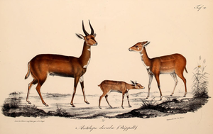 Imbabala - Rüppell's depiction of the Abyssinian bushbuck (1835)