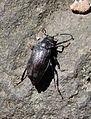 New River Gorge - beetle - top.jpg