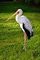 Nimmersatt (Mycteria ibis) - Weltvogelpark Walsrode 2011-02.jpg