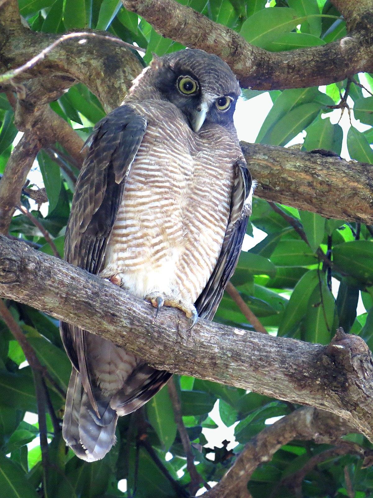 Rufous owl - photo#7