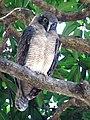 Ninox rufa - Rufous owl 2281.jpg