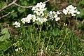 Noccaea crantzii (Ostalpen-Täschelkraut) IMG 0564.JPG
