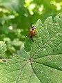 Noorwijk - Zevenstippelig lieveheersbeestje (Coccinella septempunctata).jpg