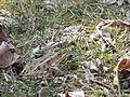 Northern Leopard Frog (Lithobates pipiens) 02.jpg