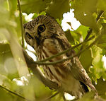 Northern Saw-whet Owl, Reifel BC 1.jpg