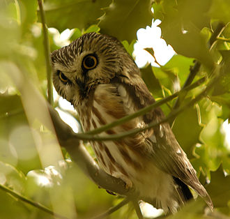 Northern saw-whet owl - Image: Northern Saw whet Owl, Reifel BC 1
