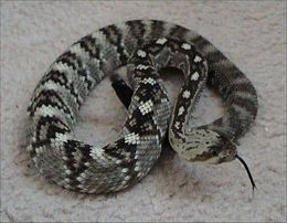 260px-Northern black-tailed rattlesnake