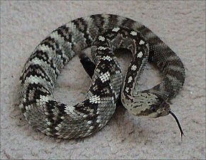 Description de l'image Northern_black-tailed_rattlesnake.jpg.