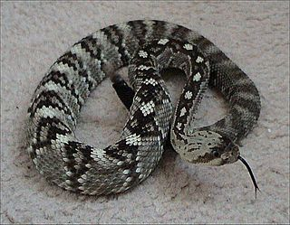 <i>Crotalus molossus</i> species of reptile
