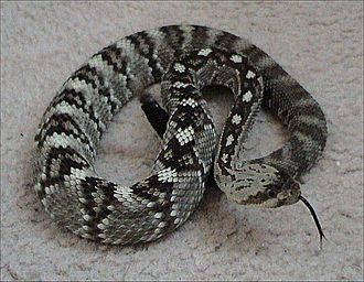 Crotalus molossus - Image: Northern black tailed rattlesnake