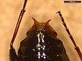 Notiophilus biguttatus (39625864900).jpg