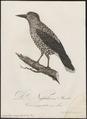 Nucifraga caryocatactes - 1800-1812 - Print - Iconographia Zoologica - Special Collections University of Amsterdam - UBA01 IZ15700173.tif
