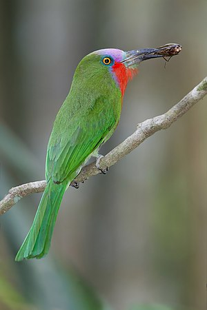 Bee-eater - Red-bearded bee-eater, a Nyctyornis species
