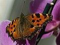 Nymphalis polychloros - Blackleg tortoiseshell - Многоцветница (41109363472).jpg