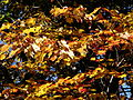 Oak-leaves-fall-tree - West Virginia - ForestWander.jpg