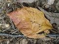 Oak leaf P8260005.jpg