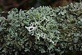 Oakmoss - Evernia prunastri (39621337004).jpg