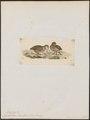 Odontophorus lineolatus - 1820-1863 - Print - Iconographia Zoologica - Special Collections University of Amsterdam - UBA01 IZ17100203.tif