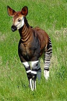 220px-Okapia_johnstoni_-Marwell_Wildlife,_Hampshire,_England-8a.jpg