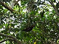 Okinawa woodpecker 2.jpg