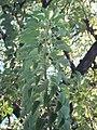 Ombu leafs 2.jpg
