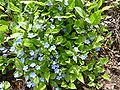 Omphalodes verna 'Creeping forget-me-not' (Boraginaceae) plant.jpg