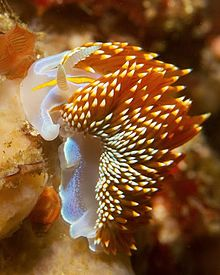 Opalescent nudibranch hermissenda crassicornis california point joe 2013.jpg