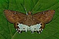 Open wing position of Tagiades menaka Moore, 1865 – Spotted Snow Flat WLB DSC 4148.jpg