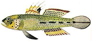 <i>Oplopomus</i> genus of fishes