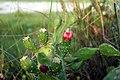 Opuntia ficus-indica flower, Saptari (4).jpg