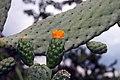 Opuntia repens 3zz.jpg