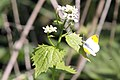 Orange Tip Butterfly - Oakley (4592331571).jpg