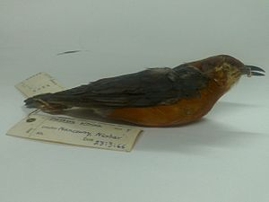 Humayun Abdulali - Orange-headed thrush Zoothera citrina collected by Abdulali at Nancowry, Nicobars in 1966.